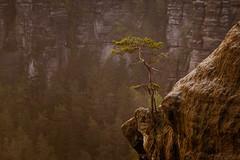 little tree (cfaobam) Tags: sächsische schweiz landscape herbst sonnenaufgang nebel elbsandsteingebirge natur landschaft sunrise nature hiking wandern felsen rocks germany deutschland saxony switzerland sony cfaobam a7r globetrotter visipix morning fog saxon wald baum holz