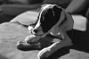 """Slurp.... !"" (The Blue Water Lily's Company) Tags: fdrouet nb bw monochrome monochrom film analog nikon chien dog"