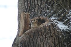 Chipmunk in a Cavity Nest at the University of Michigan (March 7th, 2018) (cseeman) Tags: chipmunk annarbor michigan animal campus universityofmichigan umchipmunk03072018 winter peanuts eating tree nest cavitynest chipmunkcavitynest