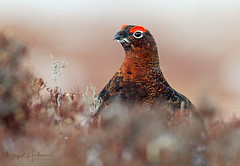Red Grouse (oddie25) Tags: canon 600mmf4ii 1dx grouse redgrouse gamebird birds birdphotography bird nature naturephotography wildlife wildlifephotography scotland scottishhighlands