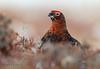 Red Grouse (oddie25) Tags: canon 600mmf4ii 1dx grouse redgrouse gamebird birds birdphotography bird nature naturephotography wildlife wildlifephotography scotland scottishhighlands