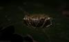 Arkys alatus (dustaway) Tags: arthropoda rprr rainforest rotarypark lismore nature australianwildlife northernrivers nsw australia arachnida araneae araneomorphae arkyidae arkysalatus australianspiders wingedarkys