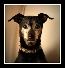 Frenchie (LupaImages) Tags: dog canine face fur closeup animal pet family love indoors portrait