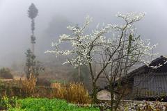 _Y2U1067.0218.Phố Cáo.Đồng Văn.Hà Giang (hoanglongphoto) Tags: asia asian vietnam northvietnam northeastvietnam landscape scenery vietnamlandscape vietnamscenery vietnamscene hagianglandscape village house home spring morning mist trees plumblossom hdr canon canoneos1dx canonef2470mmf28liiusm đôngbắc hàgiang đồngvăn phốcáo phongcảnh phongcảnhhàgiang bảnlàng buổisáng mùaxuân hàgiangmùaxuân hoamận ngôinhà sươngmù hoamậnhàgiang