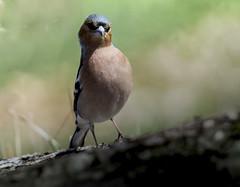 Enfin la visite inespérée des gros becs casse noyaux ! (Doriane Boilly Photographie Nature) Tags: gros bec oiseaux matin sigma 600 nature des jardins birds