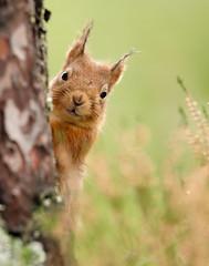 Red Squirrel Sciurus vulgaris (Iain Leach) Tags: birdphotography wildlifephotography photograph image wildlife nature iainhleach wwwiainleachphotographycom canon canoncameras photography canon1dxmk2 canon5dmk4 beauty beautiful beautyinnature macro macrophotography closeup redsquirrel sciurusvulgaris scotland