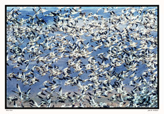 Snow Geese ~ March Madness (Johnrw1491) Tags: snow geese numbers spring migration birds waterfowl wildlife nature oregon