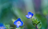 Chosen (frederic.gombert) Tags: flower flowers light macro tiny blue wild color colored bloom blossom spring