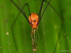 Harvestman, Opiliones with prey (Ecuador Megadiverso) Tags: amazon andreaskay arachnida cranaidae ecuador harvestman opiliones rainforest