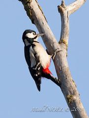 Pic épeiche - Dendrocopos major - Great Spotted Woodpecker : Michel NOËL © 2018-2129.jpg (Michel NOËL 1,2 M + views .Thanks to visits) Tags: créteilîledefrancefrance picépeiche dendrocoposmajor greatspottedwoodpecker