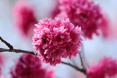 IMG_3564M 八重桜, 重瓣山櫻花 (陳炯垣) Tags: nature blossom cherry さくら