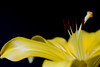 Title (Deborah S-C -In The Fairy Garden! On/Off) Tags: march18 flower floral fleur petals vibrant macro yellow colourful onblack anthers filaments pollen stigma style stamen brown rusycoloured beauty closeup