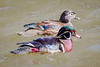 Wood Duck Pair (tresed47) Tags: 2018 201803mar 20180308wissahickonbirds birds canon7d content ducks folder march pennsylvania peterscamera petersphotos philadelphia places season takenby us valleygreen winter wissahickon woodduck ngc npc