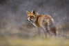fox (Bart Hardorff) Tags: 2018 amsterdamsewaterleidingduinen barthardorff thenetherlands fox maart vos