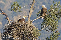Eagles Nest (KGrif_) Tags: eagle bird birdofprey beak baldeagle eaglet chick feeding hunting raptor predator nature rare wing wildlife perch nest losangeles tree valley feathers foothills california claws tail takeoff talons eyes stare parents male breast american