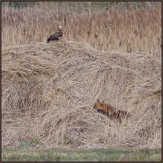 Marsh Harrier and Fox