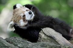 Petit panda (Passion Animaux & Photos) Tags: petit panda roux redpanda ailurus fulgens parc animalier saintecroix france
