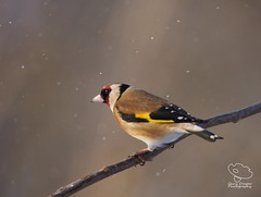 Goldfinch (UK Nature Photography) Tags: goldfinch bird wildlife snow