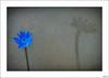 Ningún pétalo sin estambre, ninguna flor sin su sombra (V- strom) Tags: flor flower macrophotography macrofotografía achicoria chicory azul blue sombra sadow petals pétalos estambres stamens texturas textures luz light nikon nikond700 nikon105mm vstrom