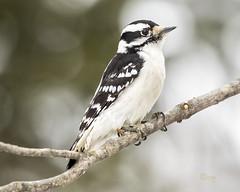 downy woodpecker (crgillette77) Tags: pennsylvania bradfordcounty downywoodpecker picoidespubescens female