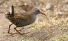 Water Rail (Rallus aquaticus) (Sandra Standbridge.) Tags: waterrail rallusaquaticus bird grass ground feeding wildandfree wild wildlife animal nature