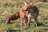 Red Fox (stanley.ashbourne) Tags: redfox nature wildlife teeth farmoor oxfordshire