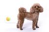 Gilda (lolandfriends) Tags: caniche perro petlovers petphotographer petphotography pet dog doglover dogphotography dogphotographer poodle toy studio studioinbarcelona puppy lolandfriends