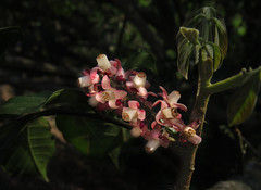 Guarea macrophylla (Meliaceae) (Edson Roberto - Potim) Tags: guareamacrophylla meliaceae