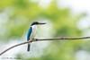 Collared Kingfisher © (Rodolfo Quinio) Tags: collaredkingfisher nikond500 tamron150600mm alabangcountryclub muntinlupacity philippines fishingbird bird nature wildlife 174
