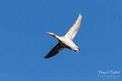 Female Merganser in flight