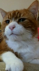 Bosco (merseymouse) Tags: cats felines pets animals gingercats