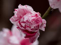 Peppermint Peach Blossoms (Phet Live) Tags: phet live panasonic dmcgx8 olympus m60mm f28 peach peppermint