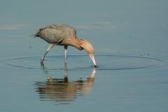 Bullseye (ChicagoBob46) Tags: reddishegret egret bird florida jndingdarlingnwr sanibel sanibelisland nature wildlife ngc coth5 specanimal specanimalphotooftheday npc