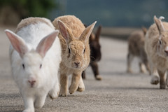 Cuteness Overload II (Norse_Ninja) Tags: japan2017 okunoshima rabbits rabbit bunnies bunny travel traveller travelingnorwegian panasonic gh5 4k journeyjd17