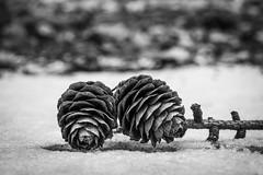 Tannenzapfen / Pine Cones (jkiter) Tags: schnee tannenzapfen haard deutschland natur schärfeverlauf germany nature snow unschärfe depthoffield dof