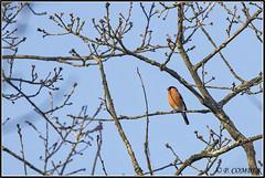 _DSC0024_Bouvreuil pivoine (patounet53) Tags: bouvreuilpivoine eurasianbullfinch fringillidés passériformes pyrrhulapyrrhula bird oiseau