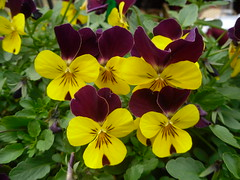 SDC17197 (vale 83) Tags: flowers samsung pl65 coloursplosion colourartaward friends viola