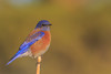 Western Bluebird (gilamonster8) Tags: western bluebird bird animal blue sky stick branch wood 7dmarkii canon color ngc flickrelite explore explored ef400mm56l eos red view perched bokeh