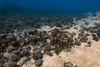 Easter Island, Chile (Dumbledore Calrissian) Tags: easterisland coral coralreef chile oceans fish rapanui hangaroa orcadiving porites pocillopora rarefish moai