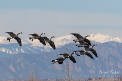 Canada Geese come in for a landing