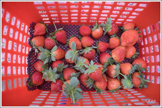 善化草莓 來去晴空農場找無農藥栽種的草莓 (31)