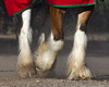 Feet of a Clydesdale (dan.weisz) Tags: horse clydesdale budweiser rillitoracetrack tucson