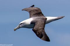 Salvin's Albatross (David Levasheff) Tags: 2018tasmaniamelbourne tasmansea tasmania australia albatrosses salvinsalbatross