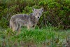Point Reyes Coyote (fascinationwildlife) Tags: animal mammal wild wildlife nature natur national park seashore point reyes california usa america predator field morning coyote koyote young winter grass