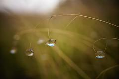 (Team Kweeper) Tags: waterdrops flowers hanging sunlight reflection closeup macro