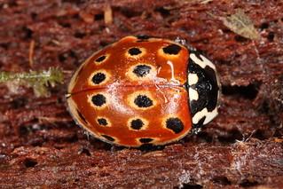 Anatis ocellata (Linnaeus, 1758) = Coccinella ocellata Linnaeus, 1758.