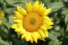 IMG_3693M Sunflower, ひまわり, 向日葵 (陳炯垣) Tags: blooming flower blossom sunflower ひまわり 向日葵 nature