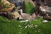Maçarico Galego (Carlos Santos - Alapraia) Tags: maçaricogalego ngc ourplanet animalplanet canon nature natureza wonderfulworld highqualityanimals unlimitedphotos fantasticnature birdwatcher ave bird pássaro