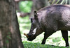 DSC_9160 (H Sinica) Tags: 博茨瓦納 botswana kasane chobe chobenationalpark choberiver marinalodge warthog 疣豬