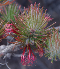 Calothamnus hirsutus, Wattle Grove Bushland, Perth, WA, 30/11/17 (Russell Cumming) Tags: plant calothamnus calothamnushirsutus myrtaceae wattlegrovebushland perth westernaustralia